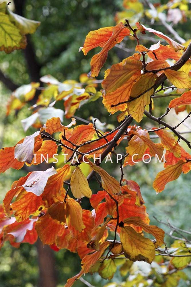 نور  در عکس - عکس برگ های پاییزی